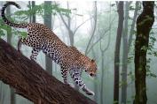 Cheetah in a Tree -B - Art Print Poster,Wall Decor,Home Decor