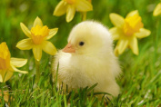 Chick and Flowers - Art Print Poster,Wall Decor,Home Decor