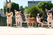 Chihuahua Puppies - Art Print Poster,Wall Decor,Home Decor