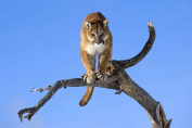 Cougar on a Tree - Art Print Poster,Wall Decor,Home Decor