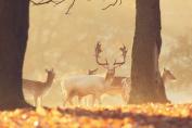 Deer in the Autumn - Art Print Poster,Wall Decor,Home Decor