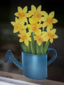 Daffodils in a Blue Watering Can - Seasonal Window Decorations by Stickers4