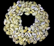 Natural yellowish Kaudi / Kowdi / Koudi Shells - Set of 101 pieces