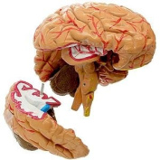 Human Brain Model by Anatomical