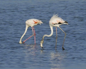 Flamingos / Bird 8 x 10 / 8x10 GLOSSY Photo Picture
