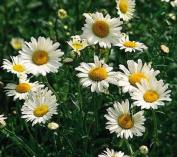 FES Quintessentials Flower Essences Services Shasta Daisy 30ml Dosage