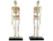 4D Human Skeleton Anatomy Model lerning Kit