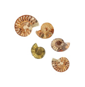 Polished Ammonite Fossil 110 million years old! Stocking Filler / Birthday .  Postage!