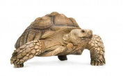 Wallmonkeys African Spurred Tortoise - Geochelone Sulcata - 60cm W x 38cm H - Peel and Stick Wall Decal