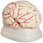 American Educational 7-1414 Eight-Piece Human Brain Model, Life-Size, Plastic, Includes Base