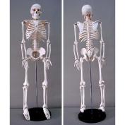 Jack Richeson Skeleton Model, Medium