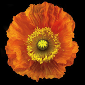 Somerset Fine Art Iceland Poppy Photograph Print, 30cm by 30cm