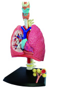 Respiratory System Anatomy Model - Build your Own!