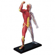 BestDental 4D 20cm 46 PARTS MUSCLE & SKELETON ANATOMY MODEL MODEL MEDICAL SIMULATION HUMAN ANATOMY MEDICAL BODY SCHOOL