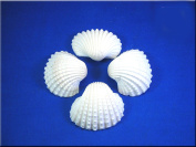 0.2kg (about 15) Large White Ark Shells Seashells (4.4cm - 5.7cm ) Beach Wedding Hobby Crafts