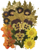 Pressed flowers mix, morning glory, daisy, daffodils, alyssum, pansy, foliage for art craft card making scrapbooking