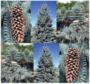 4 Packs x 20 Colorado Blue Spruce, Picea pungens glauca, Tree Seeds EXCELLENT BONSAI SPECIMEN - By MySeeds.Co
