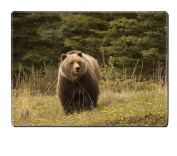 Luxlady Placemats IMAGE ID 2249826 Large grizzly shot in Jasper National Park