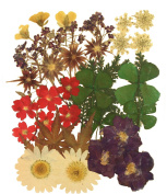 Pressed flowers mixed pack, verbena, rapeseed flower, star flower, alyssum, lace flower, marguerite, larkspur, shamrock, foliage