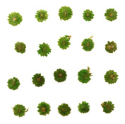 Pressed flowers, green apricot blossom 20pcs for floral art, craft, card making, costume jewellery making