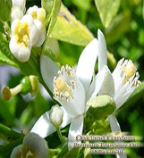 BULK x FRENCH LIME BLOSSOM Fragrance Oil - Sweet scent of French lime blossoms with a twist of bergamot and tarragon - By Oakland Gardens