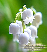 BULK x Lilly of the Valley Fragrance Oil - The delicate, white-green lily of the valley with heart notes of rose, jasmine and lilac - By Oakland Gardens