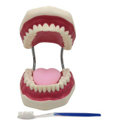 Teeth model Large Movable Oral and maxillofacial Dentition Tooth brushing Practise Toddler Tooth brushing Guidance Education Practise But I will give Toothbrush & Storage bags Attached