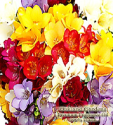 "Freesia Fragrance Oil - 100% Pure Premium Grade Oil - UNCUT - This is a clean, fresh floral of freesia flowers. Not too ""flowery"", with a delicate crispness - By Oakland Gardens"