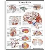 3b Scientific Human Anatomy - Human Brain Chart Paper Version
