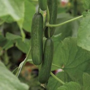 Premier Seeds Direct Cuc14 Greenhouse Cucumber Passandra F1 Finest Seeds All Of