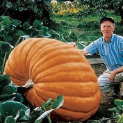Premier Seeds Direct Uc-mwlq-9pu5 Pumpkin Dills Atlantic Giant Finest Seeds (pac