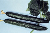 Cucumber - Early Spring Burpless F1 - 65 Finest Seeds
