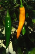 Premier Seeds Direct Pepper Hot Costeno Amarillo Includes 60 Seeds