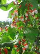 Runner Bean - Painted Lady - 45 Seeds
