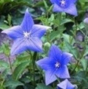 Herb Seeds - Common Bellflower - 400 Seeds