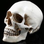 1:1 Life Size Model Human Skull Replica Model Anatomy White Resin Skull High-Precision Teaching Tool Halloween Decor