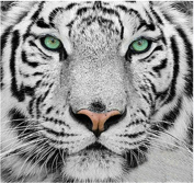 TianMai Hot New DIY 5D Diamond Painting Kit Crystals Diamond Embroidery Rhinestone Painting Pasted Paint By Number Kits Stitch Craft Kit Home Decor Wall Sticker - White Tiger, 30x30cm