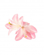 Baby Pink Lily on Concord Clip & Brooch Pin