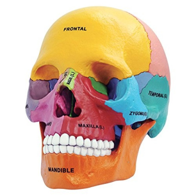 Didactic Exploded Skull, Teaching Toys, 2017 Christmas Toys