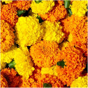 Package of 500 Seeds, African Marigold Crackerjack Mixture (Tagetes erecta) Open Pollinated Seeds By Seed Needs