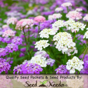 "Package of 400 Seeds, Candytuft ""Mixed Colours"" (Iberis umbelleta) Open Pollinated Seeds By Seed Needs"