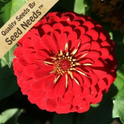 Package of 250 Seeds, Scarlet Flame Zinnia (Zinnia elegans) Open Pollinated Seeds By Seed Needs