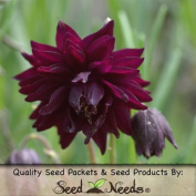 Package of 40 Seeds, Black Barlow Columbine (Aquilegia vulgaris) Open Pollinated Seeds by Seed Needs
