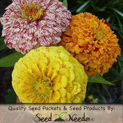 Package of 200 Seeds, Peppermint Stick Zinnia (Zinnia elegans) Open Pollinated Seeds By Seed Needs