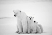 Hollyberry Home Polar Bear Family, Black, White, 126 x 86 x 5 cm