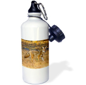 3dRose Coyote, Canis latrans, hunting., Sports Water Bottle, 620ml