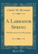 A Labrador Spring