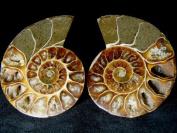 GeoFossils® Cleoniceras Ammonite Fossil Cut Pairs 5-7cm