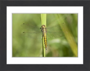 Framed Print of Black-tailed Skimmer -Orthetrum cancellatum-, juvenile dragonfly on a blade of