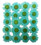 Pressed flowers, turquoise marguerite 20pcs, floral art, craft, card making, scrapbooking